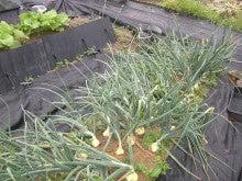 耕作放棄地をショベル1本で畑に開拓!!週2日で10時間の家庭菜園 byウッチー-110524たまねぎ追肥の影響の考察09