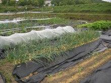 耕作放棄地をショベル1本で畑に開拓!!週2日で10時間の家庭菜園 byウッチー-110524たまねぎ追肥の影響の考察02