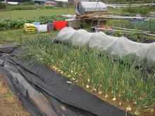耕作放棄地をショベル1本で畑に開拓!!週2日で10時間の家庭菜園 byウッチー-110524たまねぎ追肥の影響の考察01
