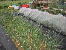 耕作放棄地をショベル1本で畑に開拓!!週2日で10時間の家庭菜園 byウッチー-110524たまねぎ追肥の影響の考察04