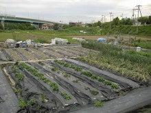 耕作放棄地をショベル1本で畑に開拓!週2日で10時間の野菜栽培の記録 byウッチー-110531今日の出来栄え02