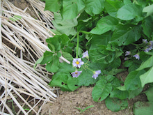 農トレ in 棚田【農業を好きになろう】-ナスの花