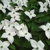 6月12日 誕生花の画像