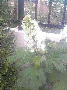 ㈲山下植物園のブログ-カシワバ紫陽花.JPG