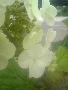 ㈲山下植物園のブログ-カシワバ紫陽花001.JPG