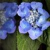 我が家の紫陽花の画像