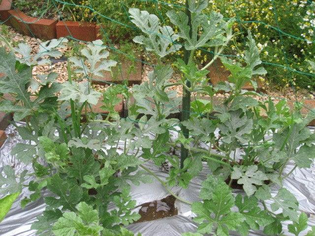 サラリーマンの気ままな家庭菜園