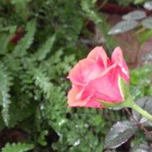 咲き初めのレッズロー…