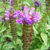 6月16日 誕生花の画像