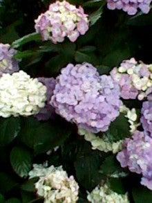 ゚・*:.。.いろいろカラー.。.:*・゜おいしい大好き♪女子力↑-20110617白山神社あじさい