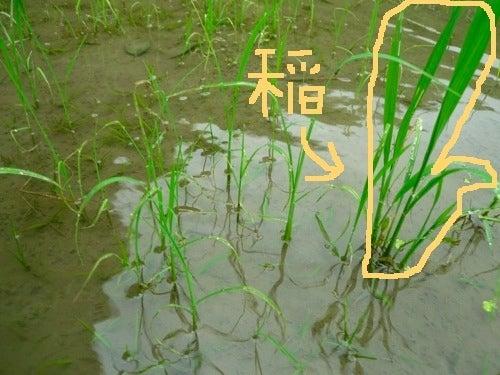 京都で自然な農を提案!農業体験も実施! しましま畑でつかまえて-ひえわさ2
