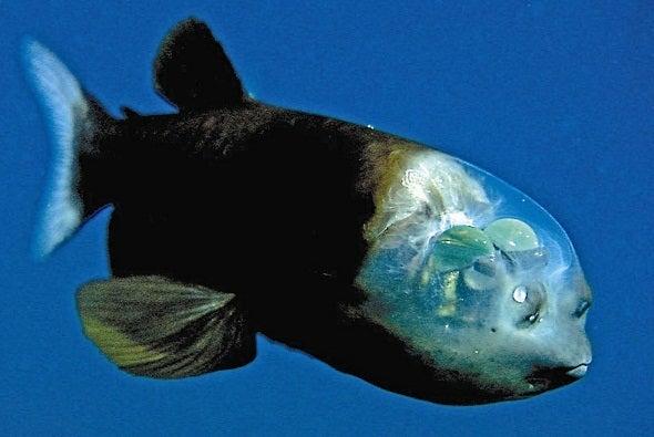 透明な頭をもつ深海魚デメニギス(Macropinna microstoma) | MUDAMUDA DAM