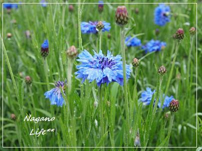 Nagano Life**-青い花