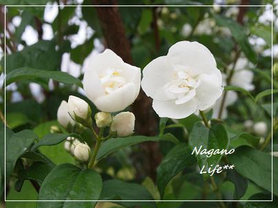 Nagano Life**-白い花