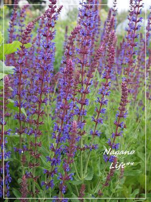 Nagano Life**-紫のお花