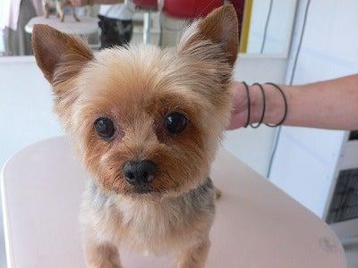 ヨーキーのサマーカットはマロンちゃん 岡山市南区犬猫美容室