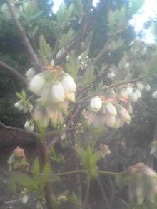 ㈲山下植物園のブログ-ブルーベリ.JPG