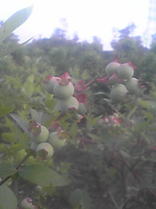 ㈲山下植物園のブログ-ブルーベリ001.JPG