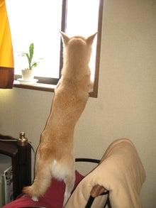$柴犬、はなの日課