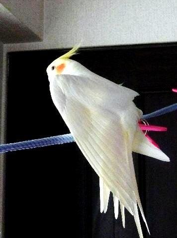 pupechipe