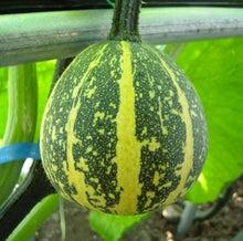 $パンプキンミッション 宇宙かぼちゃ栽培ブログ-せつこ