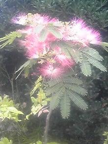㈲山下植物園のブログ-ネムの木.JPG