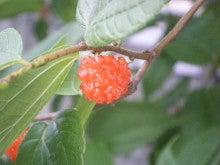 仙台外構エクステリア・造園ガーデンのいい風ブログ-桑の実ブチブチ
