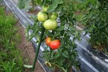 青森農園見習いのブログ-トマト0719_2