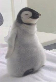 ペンギン店長のブログ-皇帝ペンギン ひな