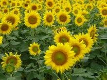 EX人妻りるりるのにゃんにゃん画像と酒とサッカー-sunflower_11