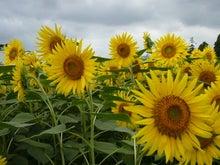 EX人妻りるりるのにゃんにゃん画像と酒とサッカー-sunflower_6