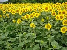 EX人妻りるりるのにゃんにゃん画像と酒とサッカー-sunflower_10