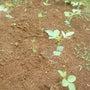 枝豆移植完了