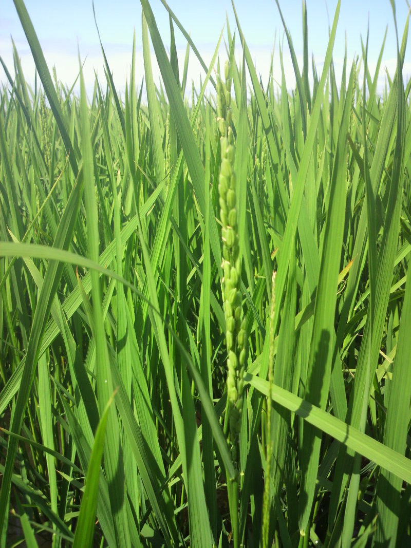 おいしいお米でみんなを笑顔にしちゃう♪ よねざわ農園のブログ【北海道名寄市風連町】