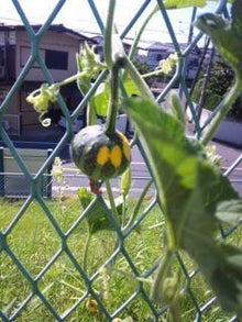 $パンプキンミッション 宇宙かぼちゃ栽培ブログ-7月17日青葉