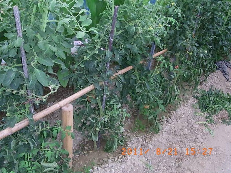 仙台の週末農業-トマトの支柱