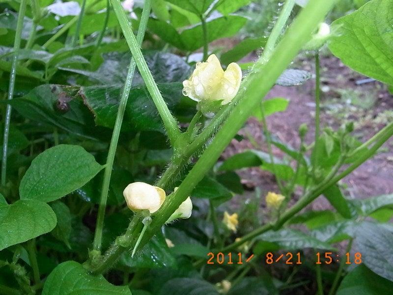 仙台の週末農業-アズキの花
