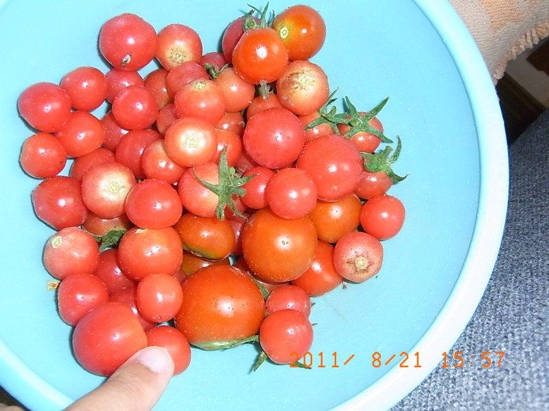 仙台の週末農業-トマト収穫