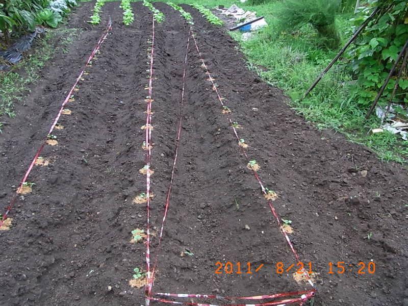 仙台の週末農業-ダイコンの種まき後