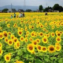 大垣ひまわり畑 20…