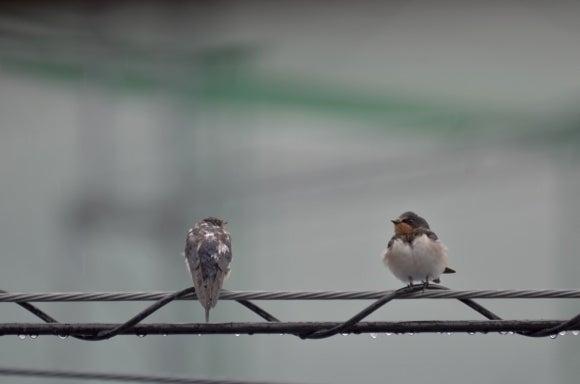 雨上がりのピーちゃん2羽