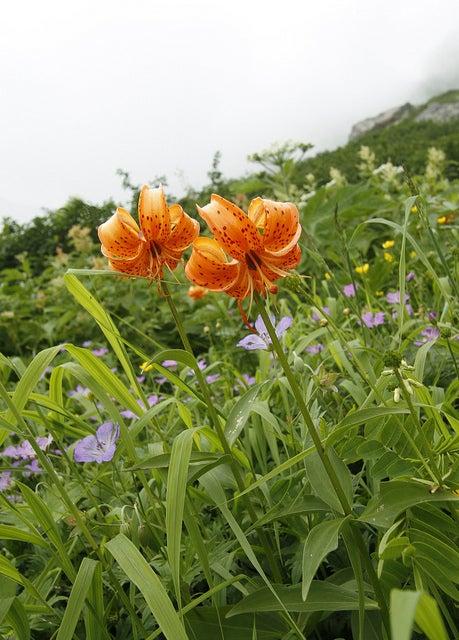 $cheltenhamのブログ-白馬岳のお花畑