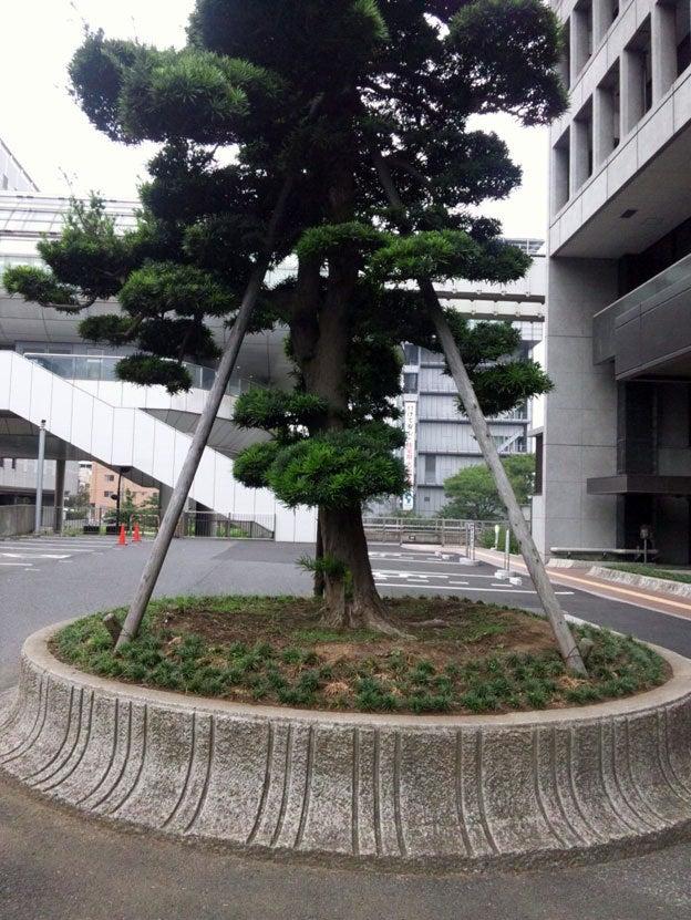 「頑張ろう!千葉」-議会棟前の槇の木