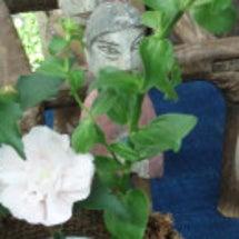 ムクゲの花が咲きまし…