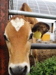 北海道便り・大きくて優しい牛たちとの生活-110830_0559~02.jpg