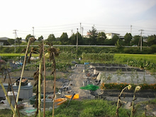 耕作放棄地をショベル1本で畑に開拓!週2日で10時間の野菜栽培の記録 byウッチー-110830今日の出来栄え01