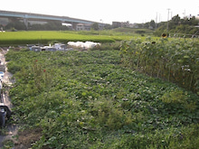 耕作放棄地をショベル1本で畑に開拓!週2日で10時間の野菜栽培の記録 byウッチー-110830今日の出来栄え04