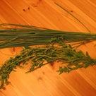 ステビア収穫 シロップ作りの記事より