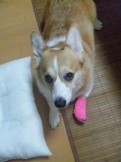 コギ犬~もこ日和~ 443牧場より-怪我