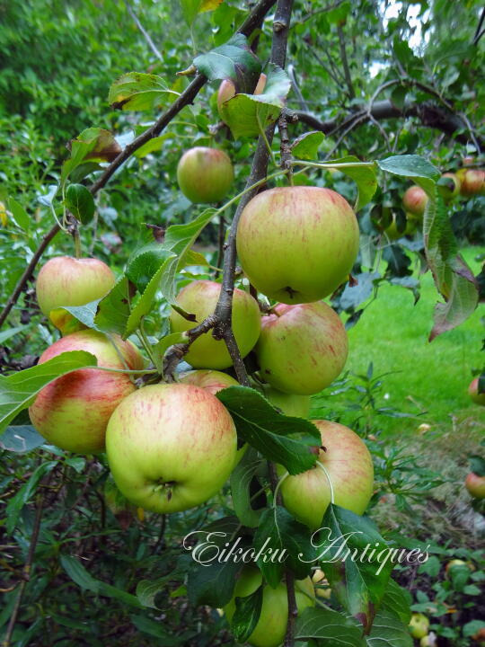 英国アンティークス・オフィシャルブログ-Apples